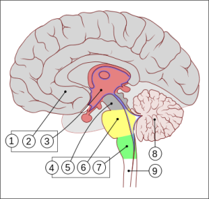 Encephalon_human_sagittal_section_multilingual.svg